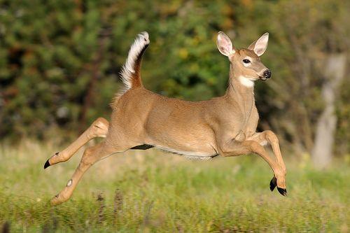 the whitetail deer flickr deery me pinterest deer white