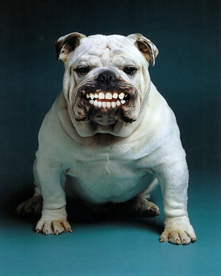 bulldog smiling bulldog smile all things bulldog pinterest 5530