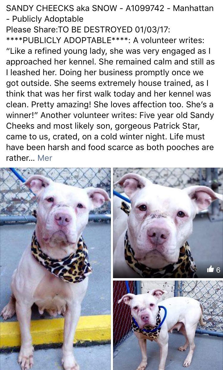 TOTALLY HEARTWRENCHING  MURDERED 1/3/17 I'M CRUSHED AND CAN'T STOP MY TEARS I LOVE YOU SO MUCH PRECIOUS  GOODBYE LOVE❤️/ij  Manhattan Center My name is SANDY CHEEKS. My Animal ID # is A1099742. I am a female white am pit bull ter mix. The shelter thinks I am about 5 YEARS old. I came in the shelter as a STRAY on 12/14/2016 from NY 10456, owner surrender reason stated was NO TIME. http://nycdogs.urgentpodr.org/sandy-cheecks-aka-snow-a1099742/