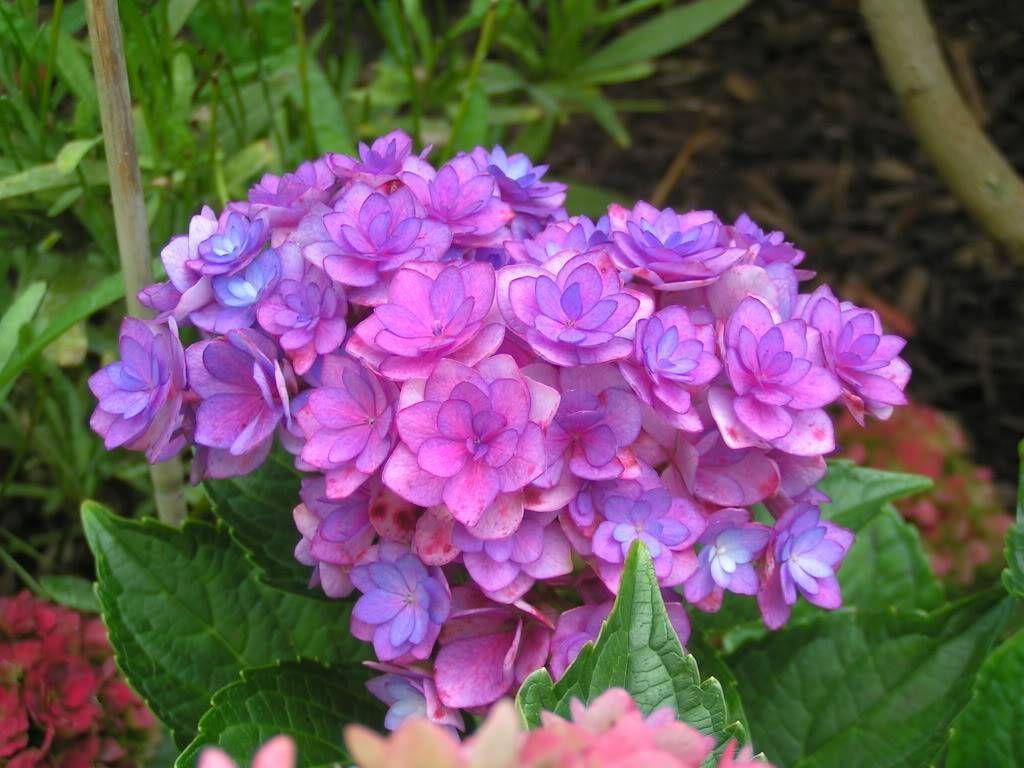 Hydrangea Double Flower Sensation Hydrangeas Pinterest