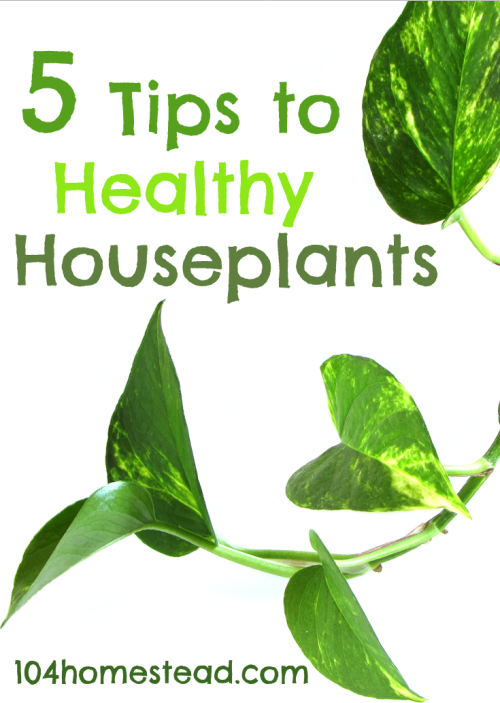 5 Tips to Healthy Houseplants | The 104 Homestead