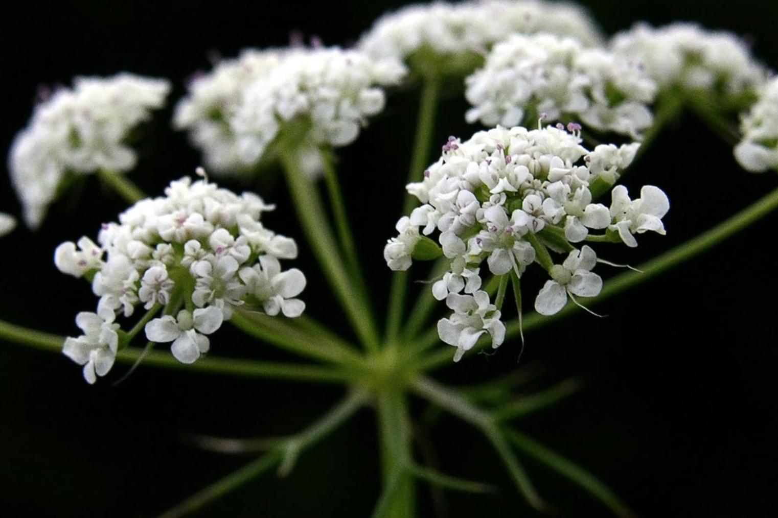Dille fleur de carotte les fleurs du mois de juin - Arbre a carotte ...