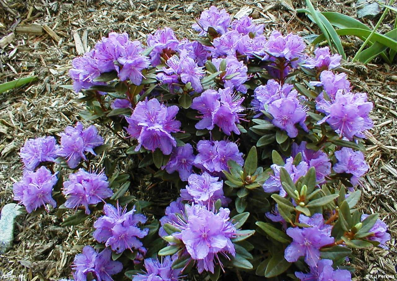Shrubs with purple flowers pictures - Masses Of Tiny Blue Purple Flowers In May Very Small Blue Green Leaves Turn Bronze In Winter New Growth Is Bluish Green