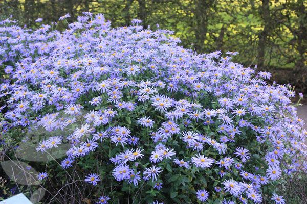 Google Image Result For Http Www Crocus Co Uk Images Products2 Pl 00 00 00 25 Long Blooming Perennials Garden Shrubs Michaelmas Daisy