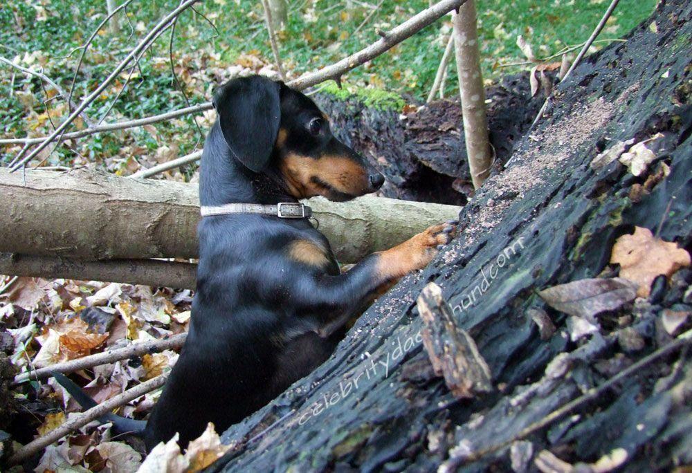 Should Dog Food Be Grain Free Dachshund love, Weenie