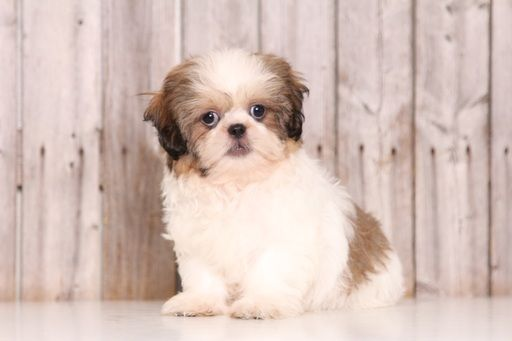 Shih Tzu Puppy For Sale In Mount Vernon Oh Adn 28128 On
