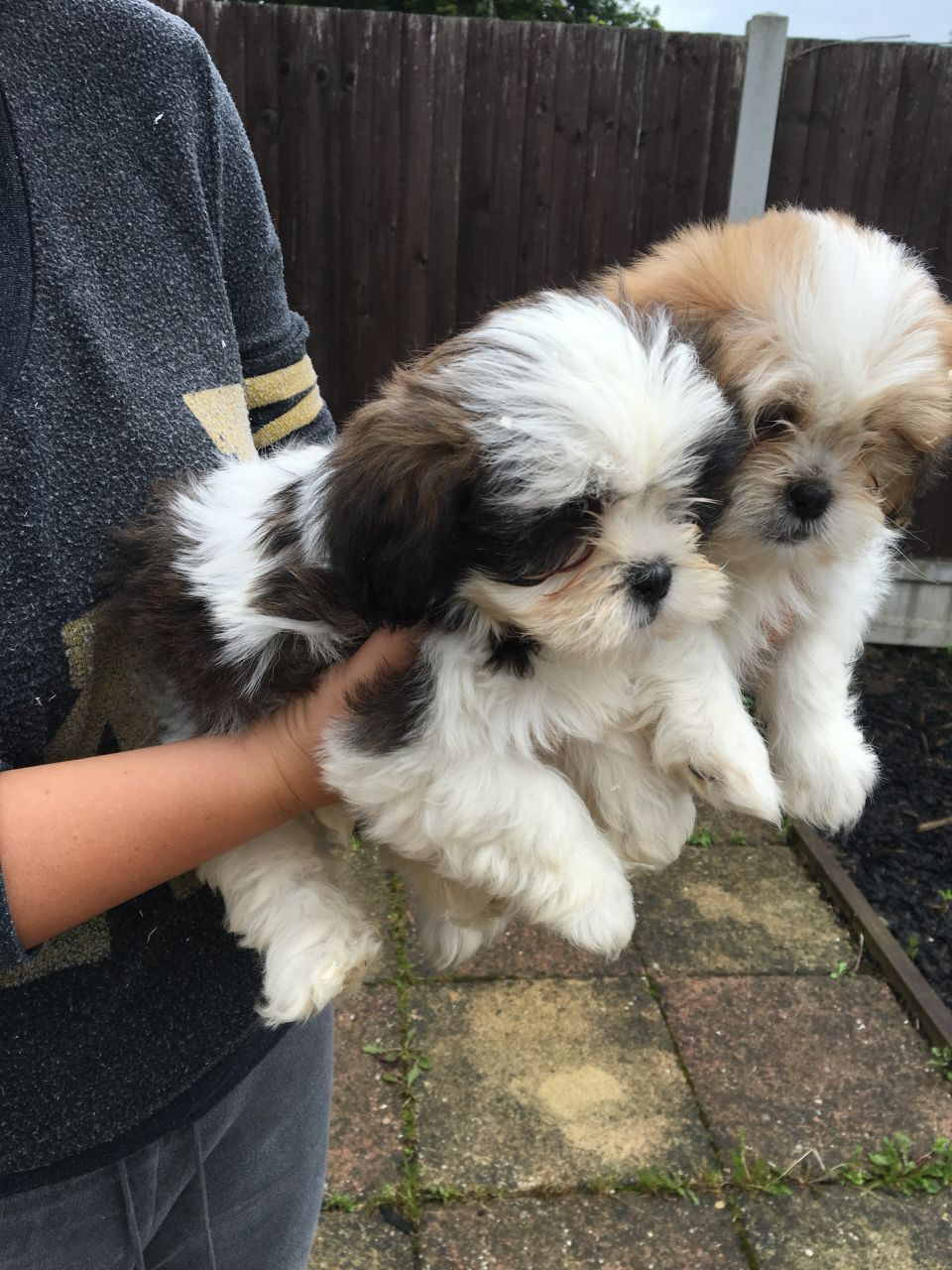 Shih tzu cross bichon frise puppies we have boys and girls