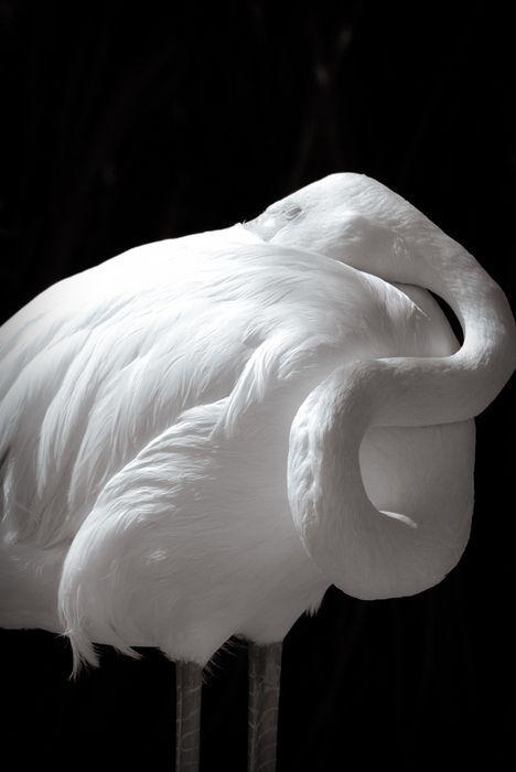 μεγάλο λευκό πουλί γκαλερί