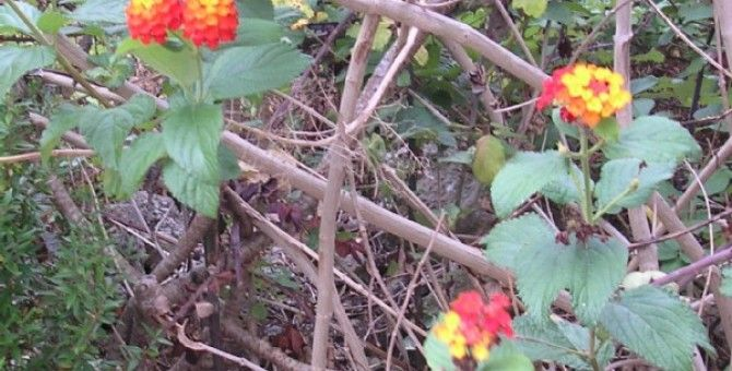 The Lantana Is Often Grown In Portugal Lantana Flowers Growing