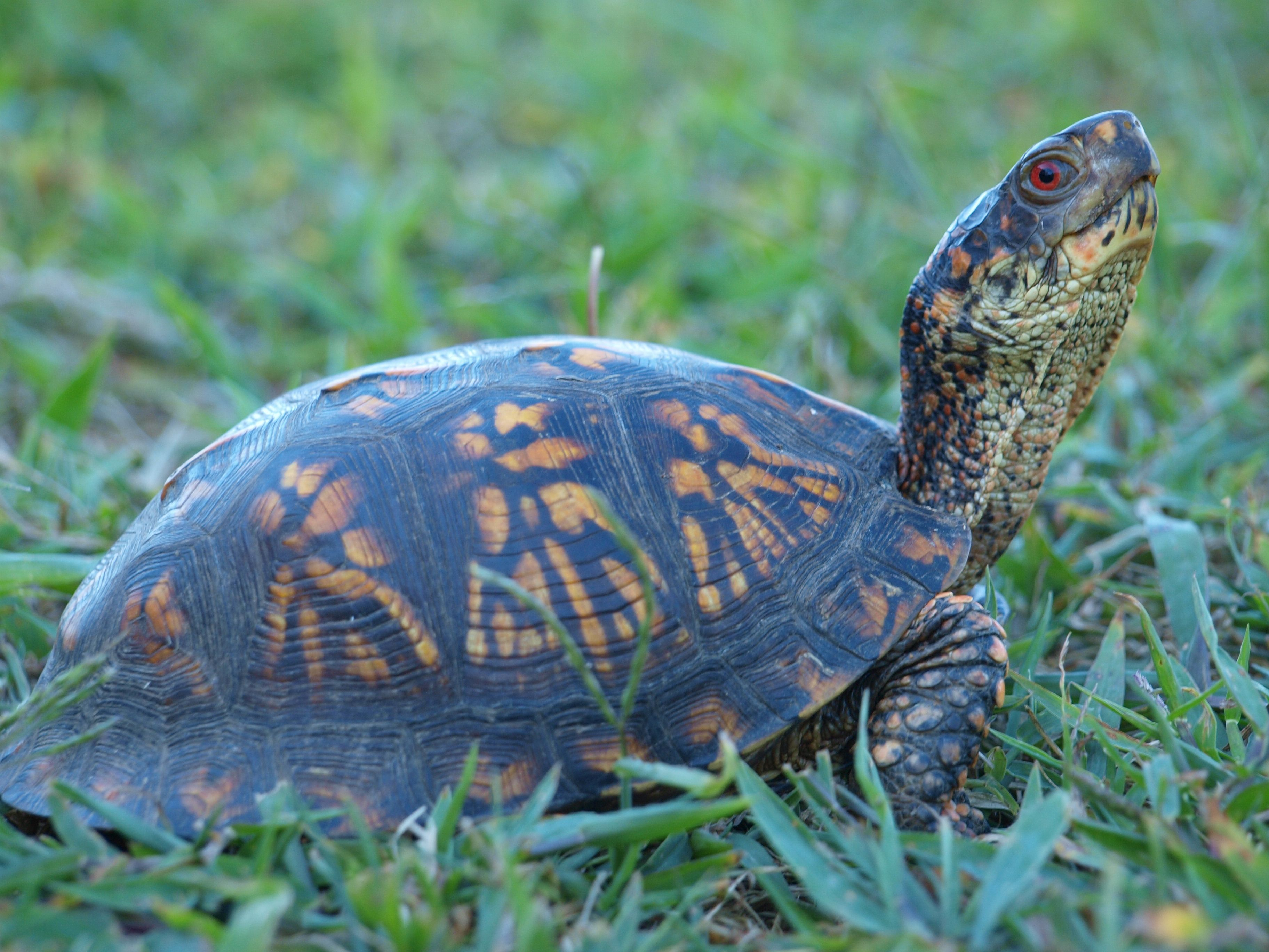 Eastern Box Turtle - North Carolina State Reptile ...