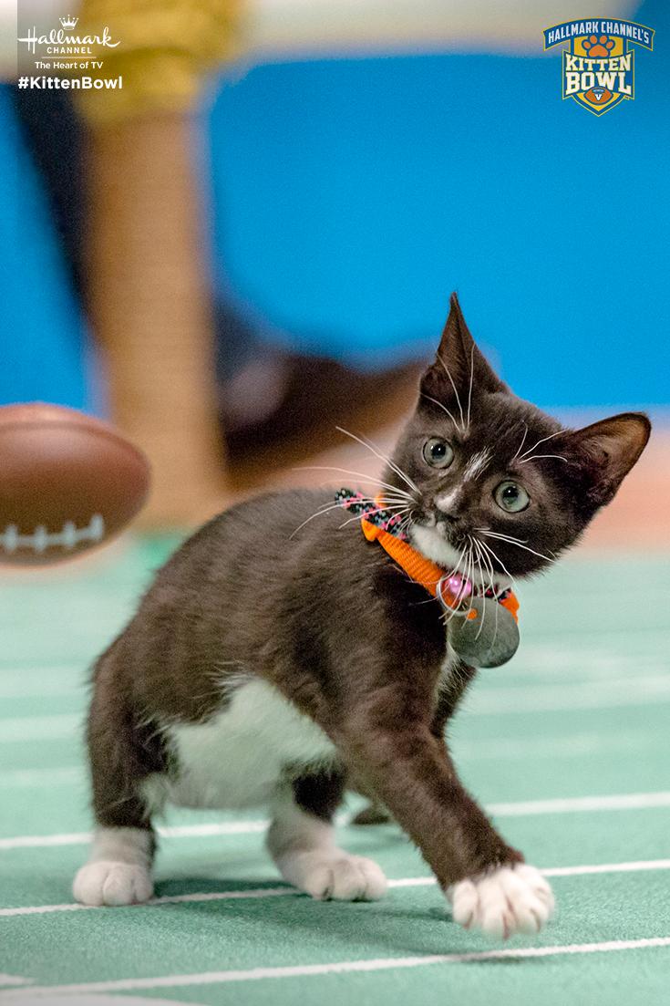 We Ve Been Training All Season For Kitten Bowl V The Game Starts At 12p 11a On February 4 Only On Hallmark Channel Kitte Kitten Bowls Kittens Cutest Kitten