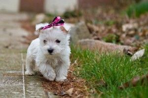 Westie Puppies Toledo Ohio Cute Baby Animals