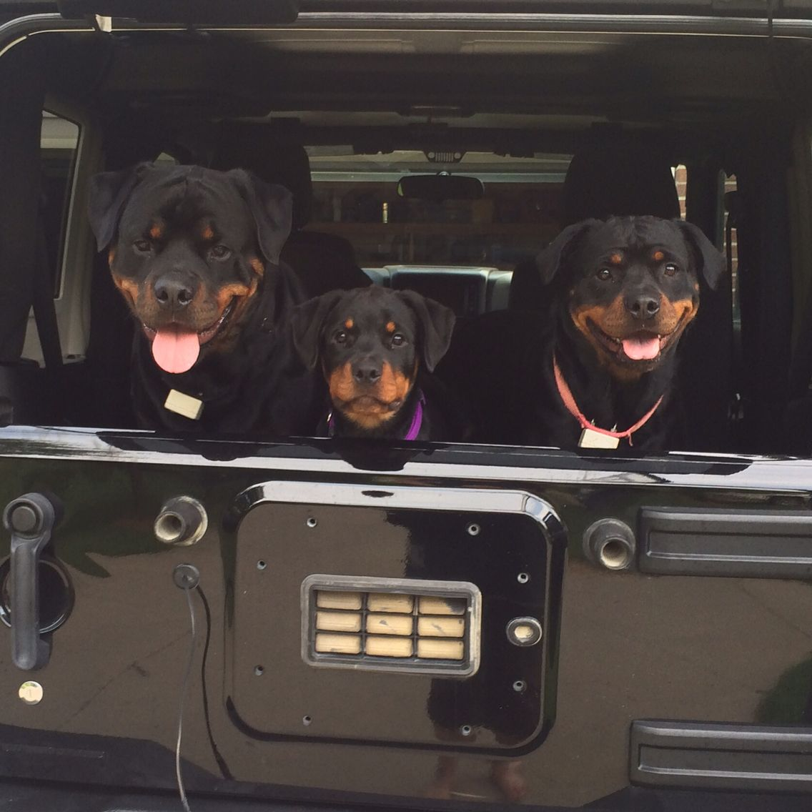 Momma Got Us A Jeep Jeep Dogs Dog Love Big Dogs