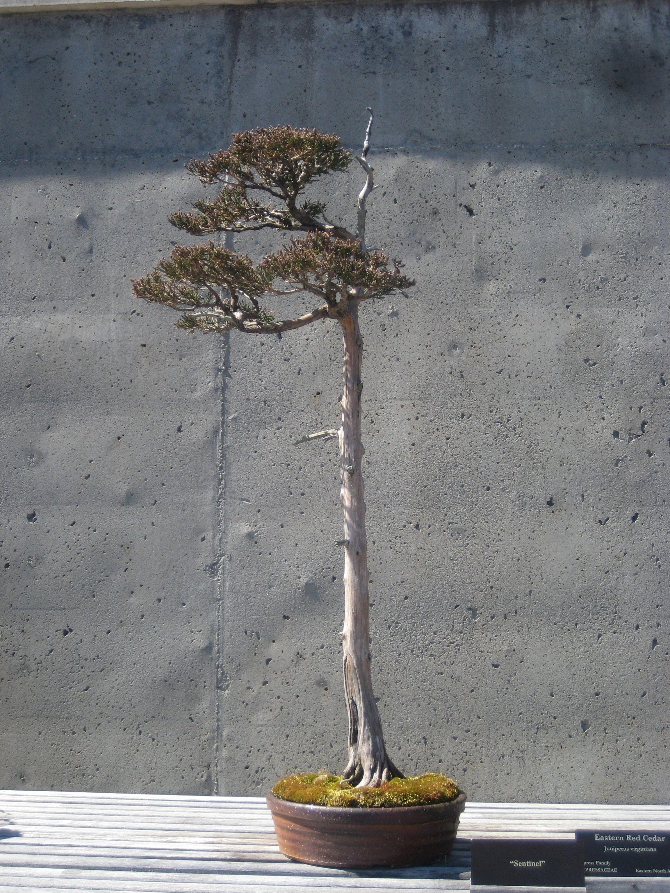 Eastern Red Cedar Bonsai At The Nc Arboretum Asheville Cay Kiểng Bonsai Cay Cối Cay