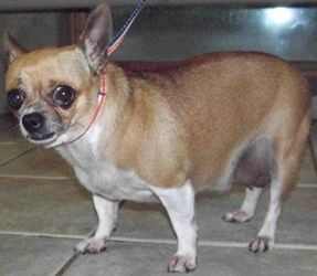 Adopt Minnie On Chihuahua Dogs Dogs Chihuahua