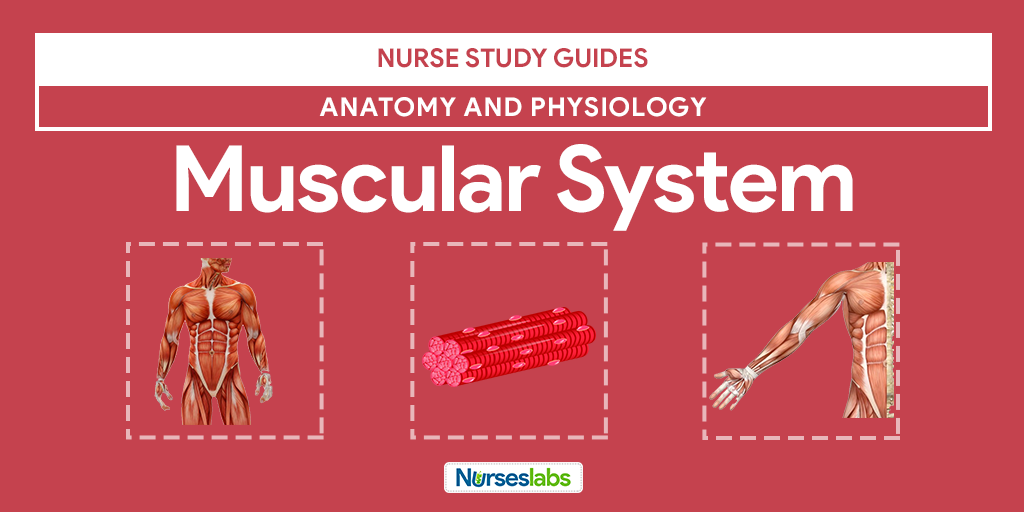 Muscular System Anatomy and Physiology | Muscular system, Muscle ...