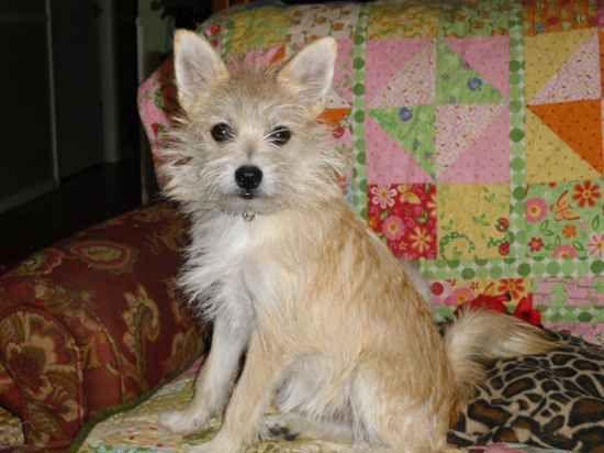 Pom A Nauze Pomeranian Miniature Schnauzer Dog Blog Designer Breed Cute Chihuahua