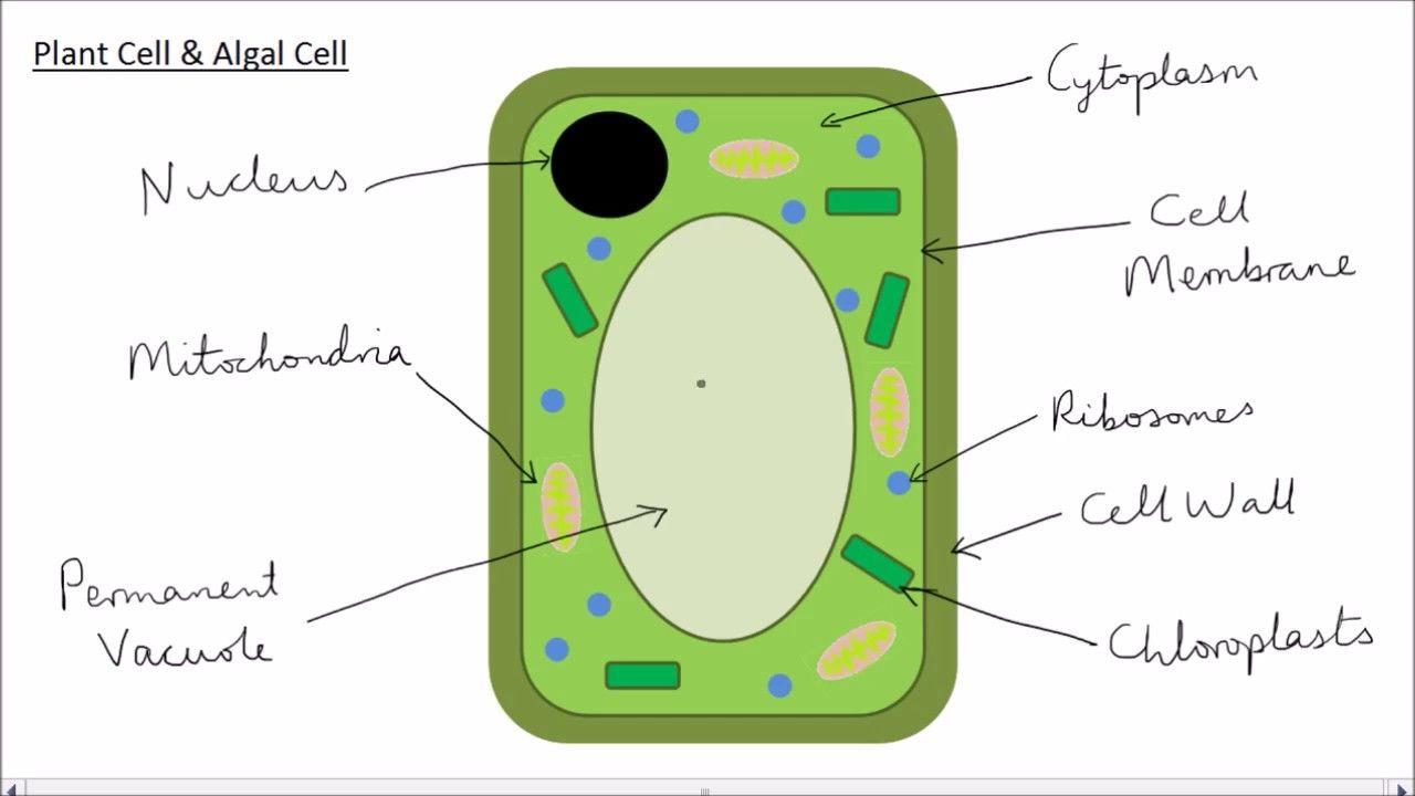 10++ Animal cell diagram simple ideas