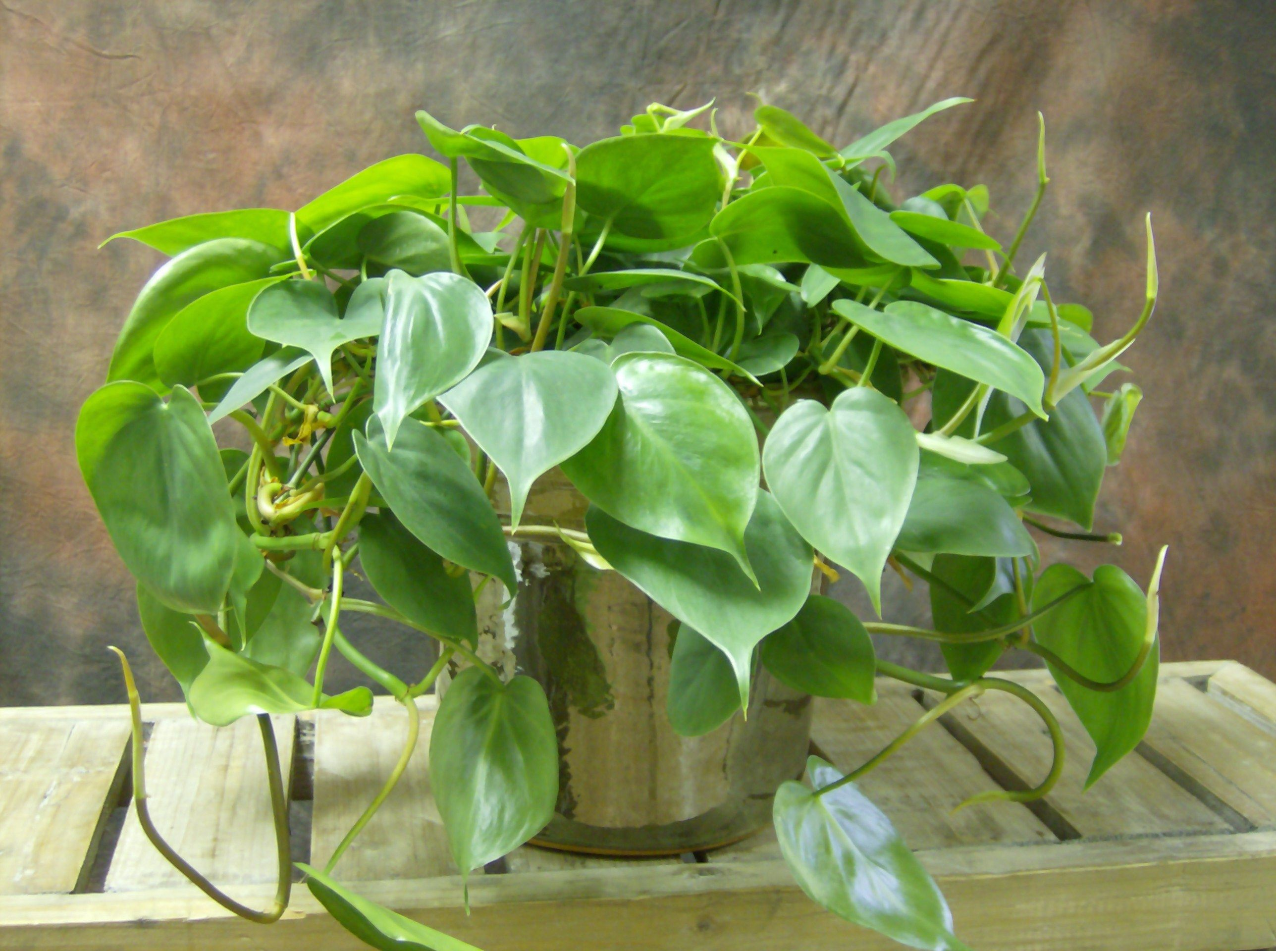 Top 10 Plants For An Indoor Vertical Garden   Philodendron (Philodendron  Sp.)