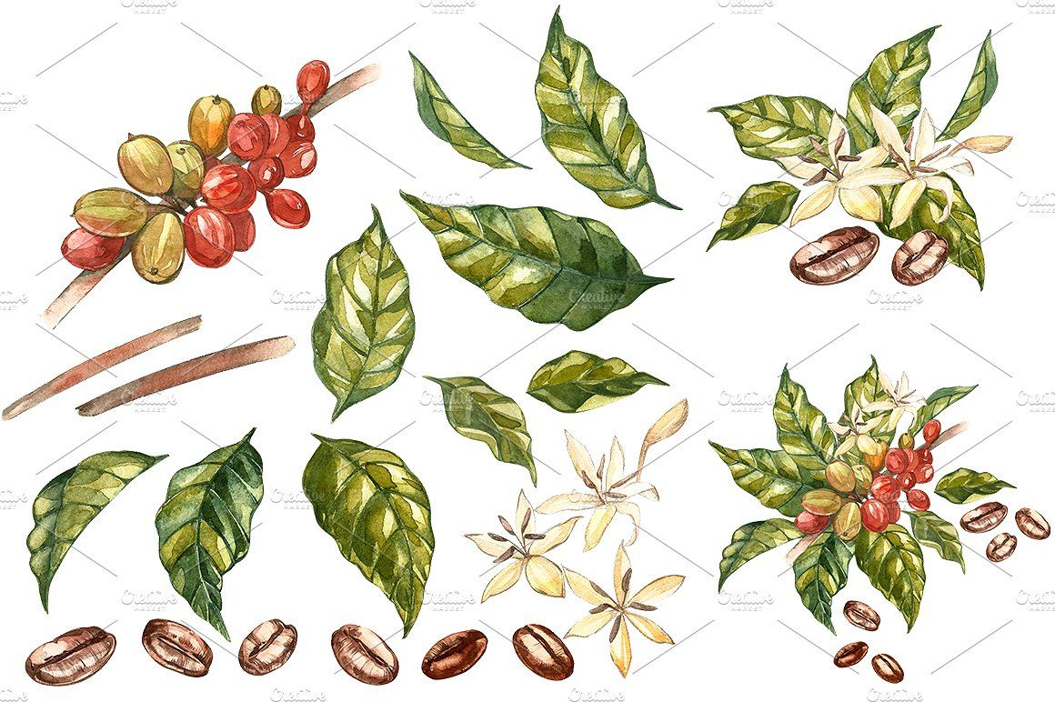 Coffee In Botanical Style Watercolor Illustration Arabica Beans Illustration