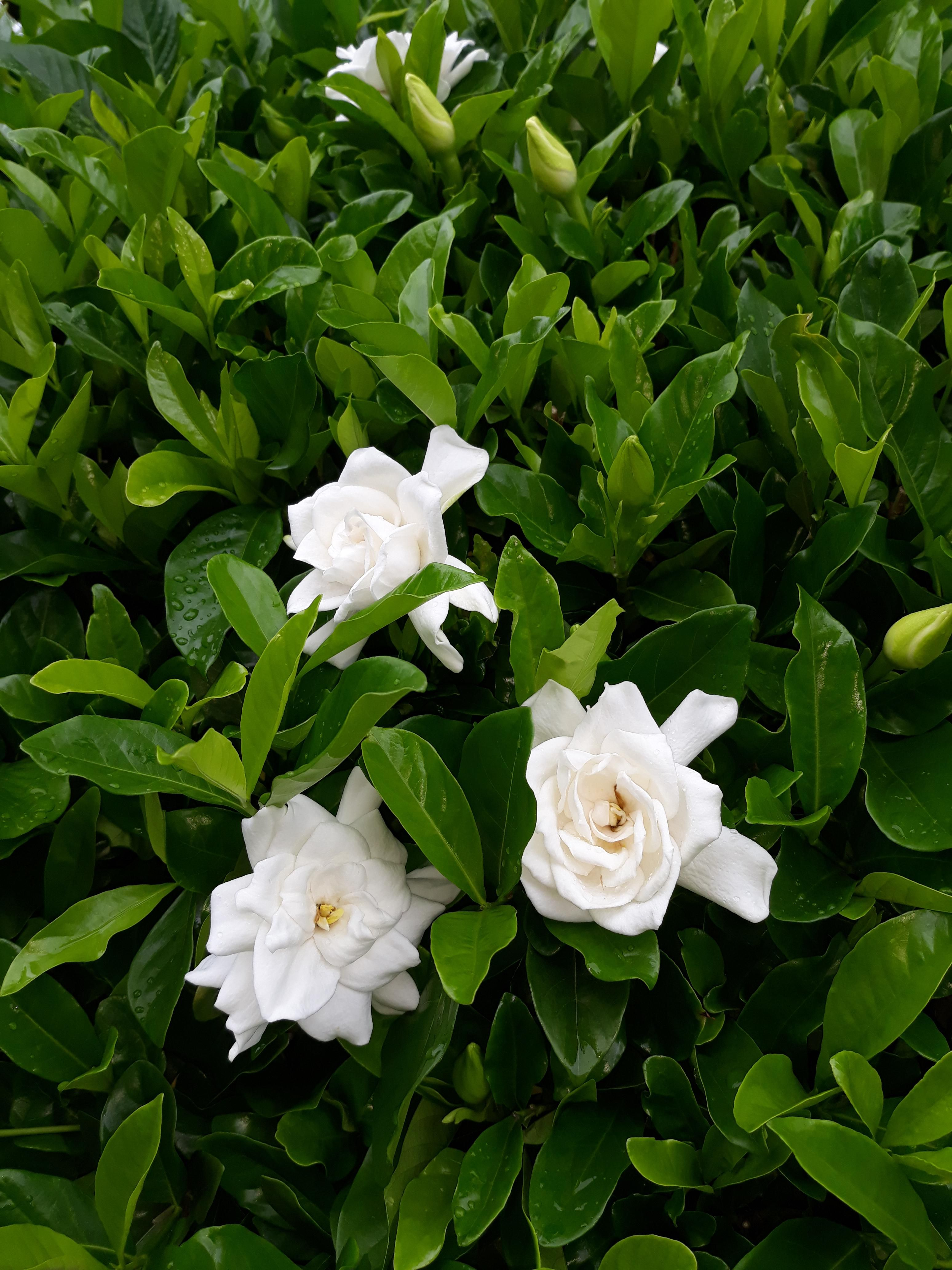 Second Flush Of Gardenia Blooms What A Fragrance Bloom