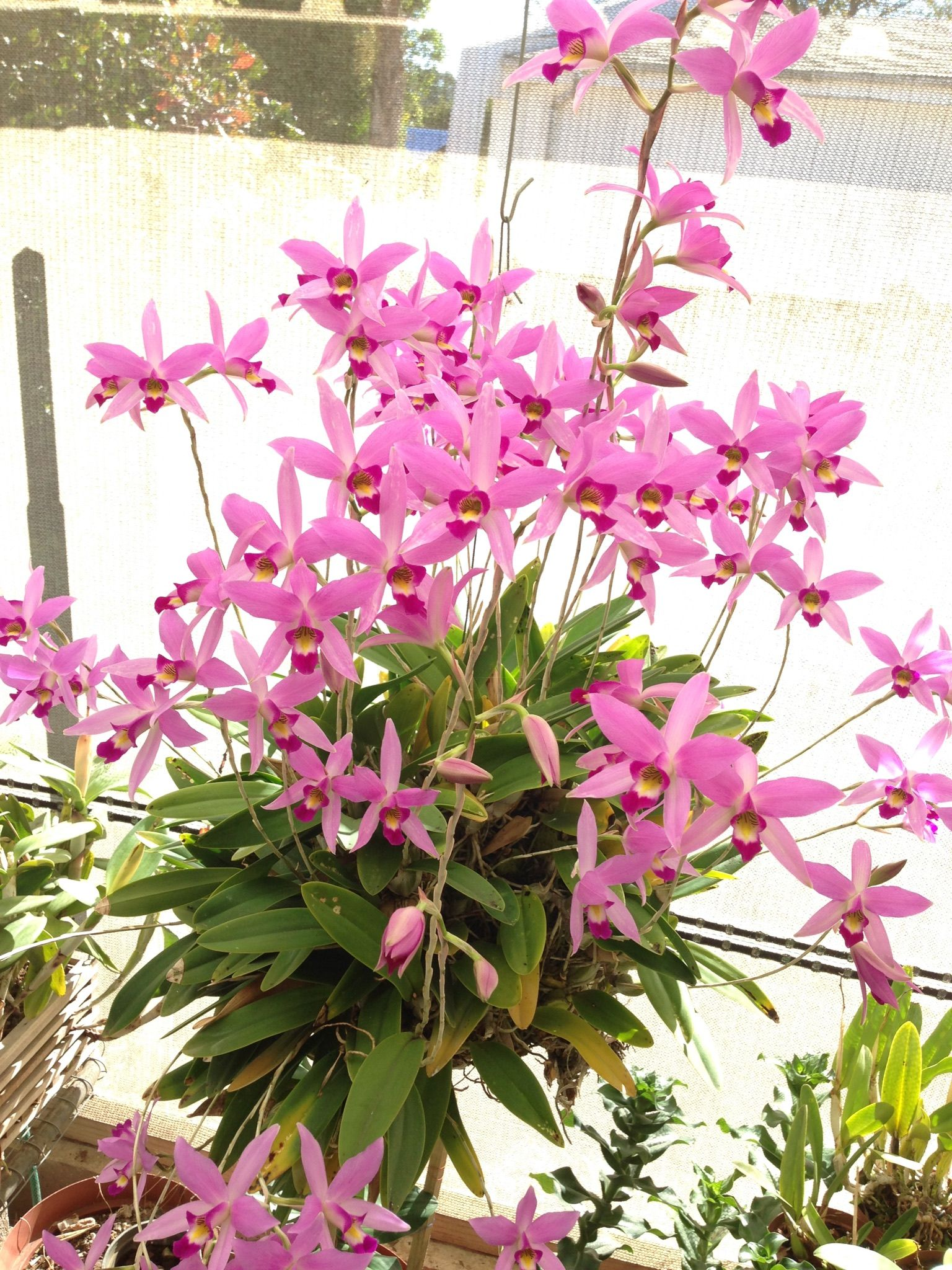 L anceps type laelia in pinterest orchids flowers and