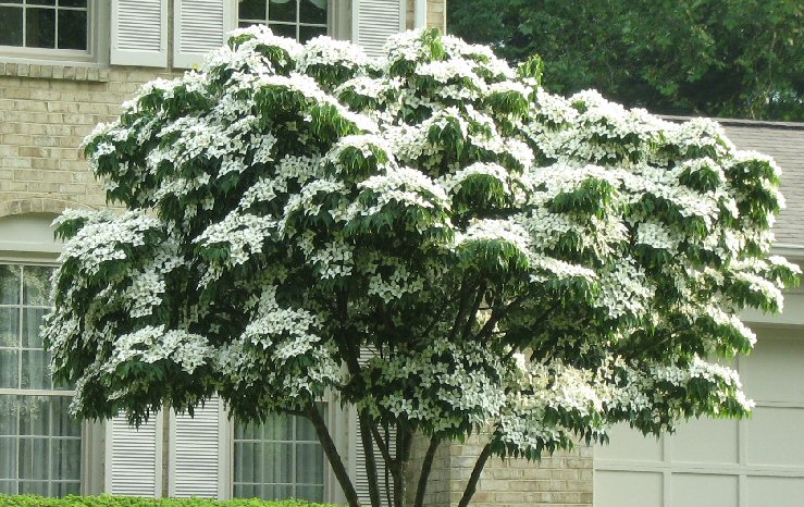 Compared to the flowering dogwood its korean counterpart the white compared to the flowering dogwood its korean counterpart the white kousa dogwood is more mightylinksfo