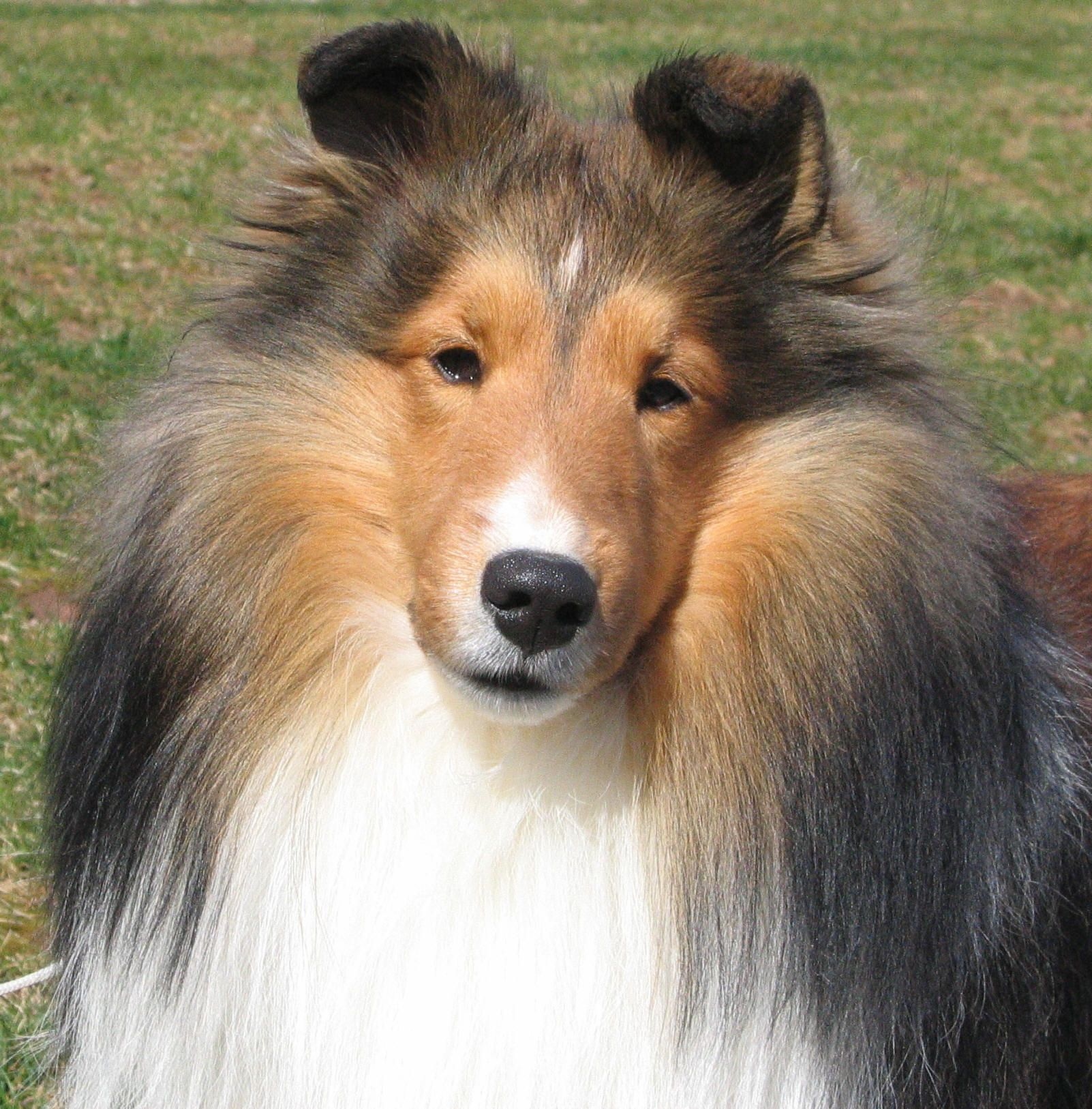 The Collie Is Not A Specific Breed But Is A Distinctive Type Of