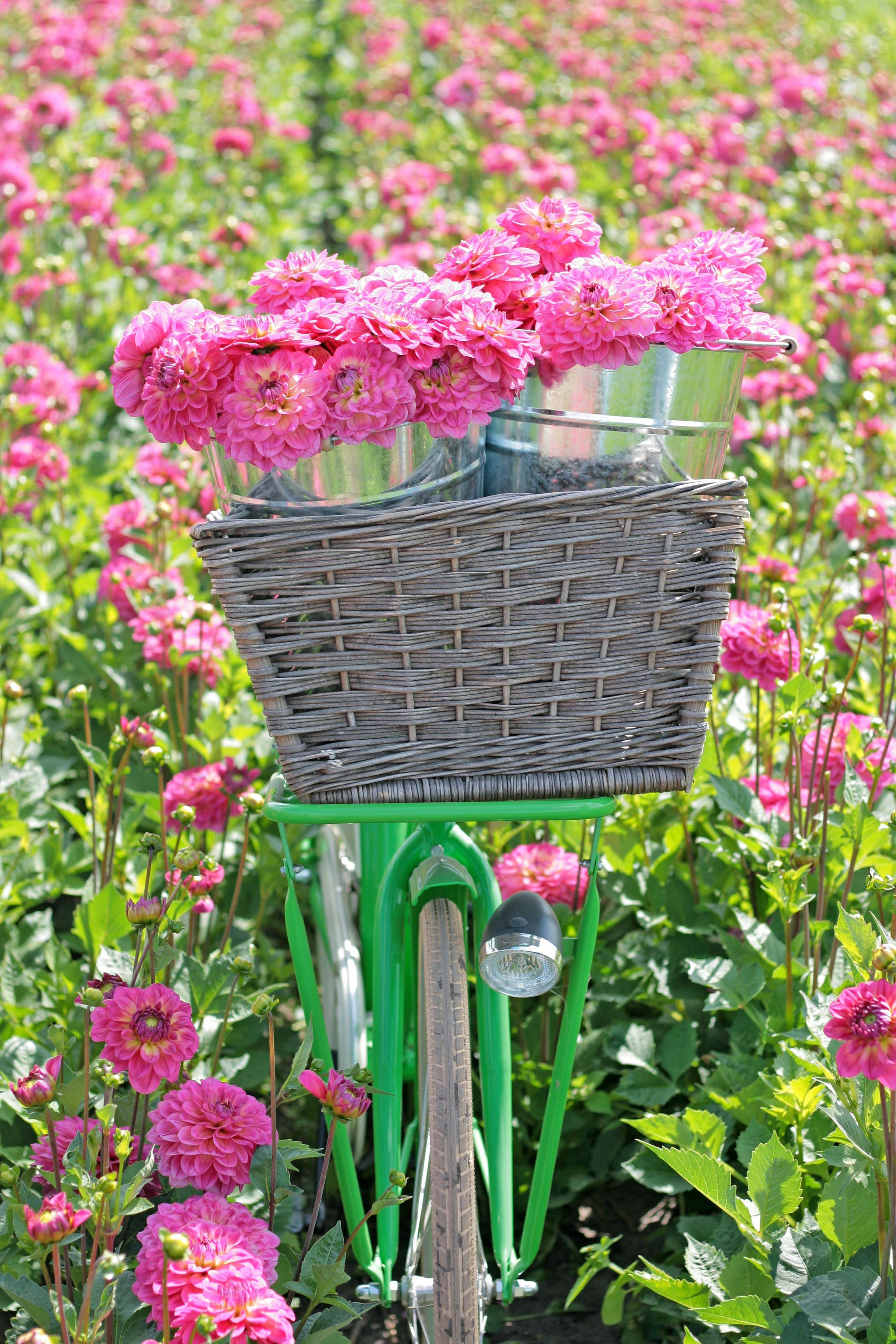 Loads of dahlias freshly picked from a huge pink flower field love loads of dahlias freshly picked from a huge pink flower field love the dutch green bike i want to have dahlias in my garden as well mightylinksfo