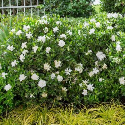 Exceptionnel Southern Living Plant Collection 3 Gal. Jubilation Gardenia 20963   The  Home Depot