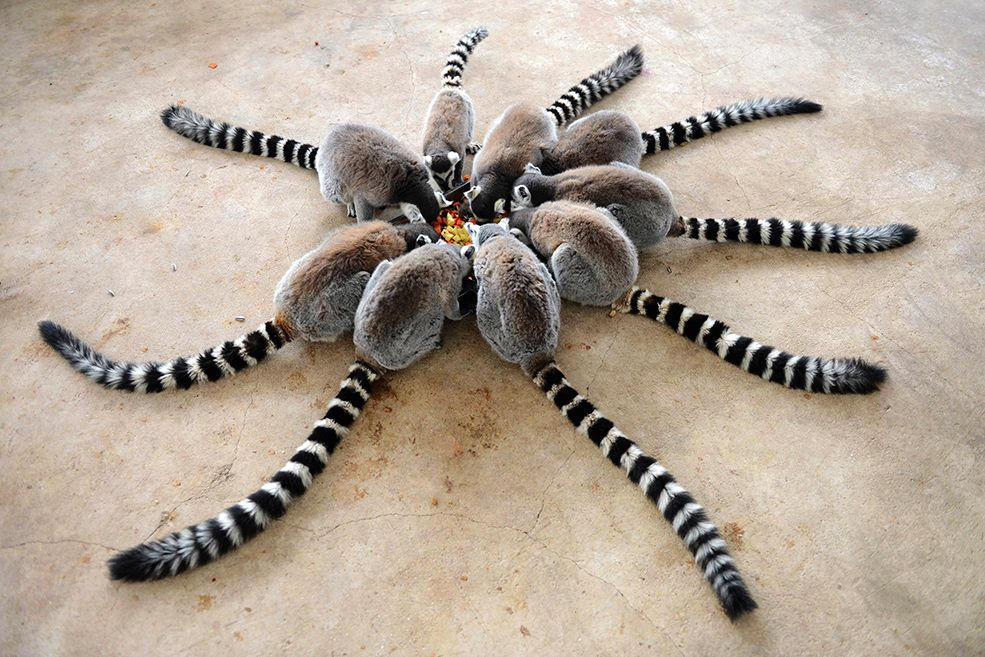 Lemurs chow down at Qingdao Forest Wildlife World in Qingdao, China. | (REUTERS/China Daily)