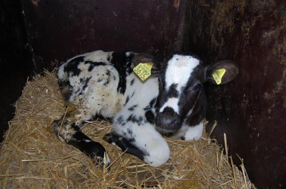 lucia de dochter van mijn glazenwasser heeft dit schattige kalfje het leven gered door haar uit de bio industrie weg te kopenl Bij haar moeder staan was niet eens mogelijk want de boer kan niet de melk van de moeder missen. Zo walgelijk zit de bio industrie de zuivel industrie in elkaar.