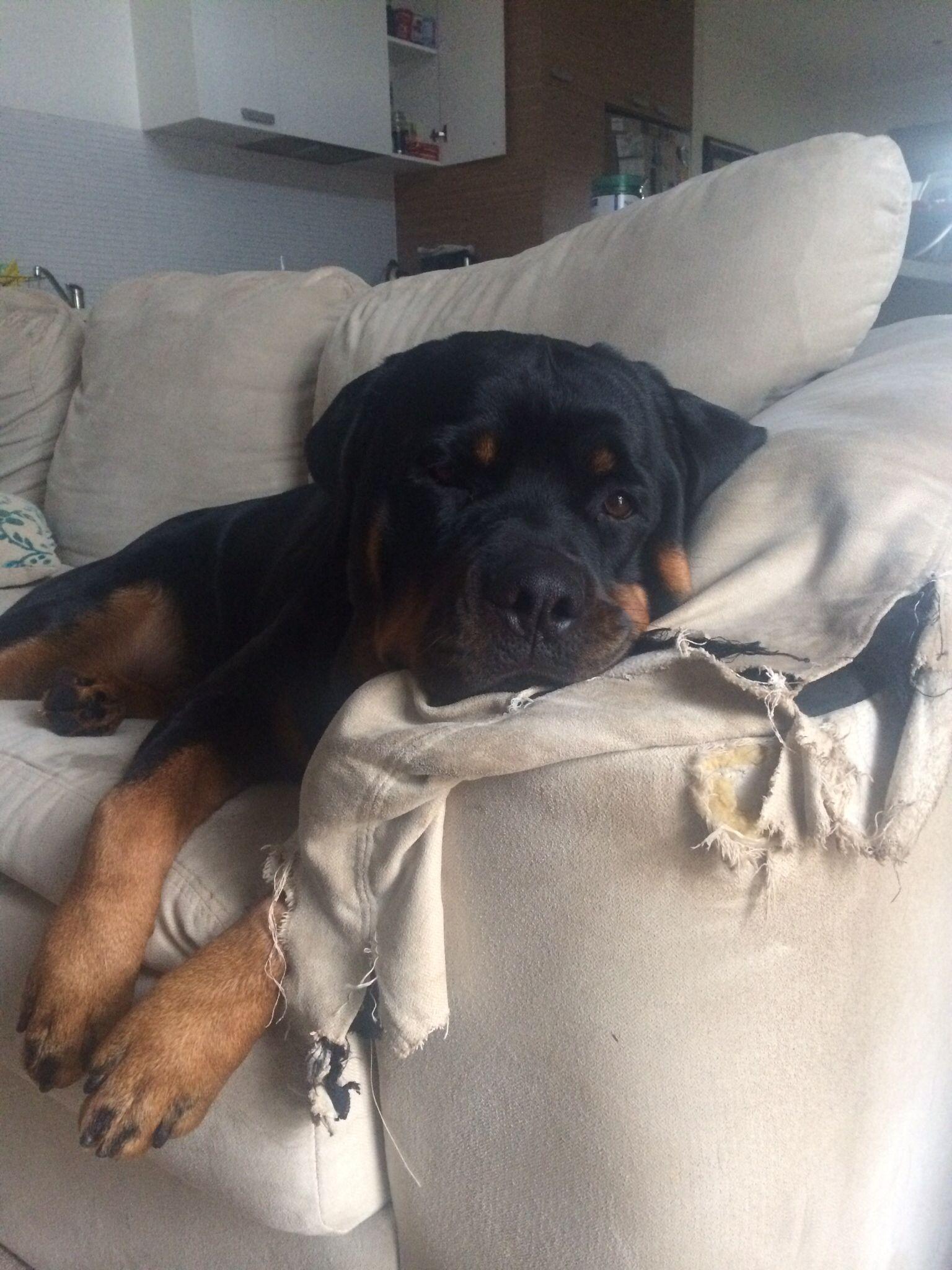 Resultado de imagen para rottweiler sofa