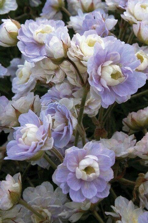 geranium perrenials pinterest pelargoner blommor och perenner. Black Bedroom Furniture Sets. Home Design Ideas