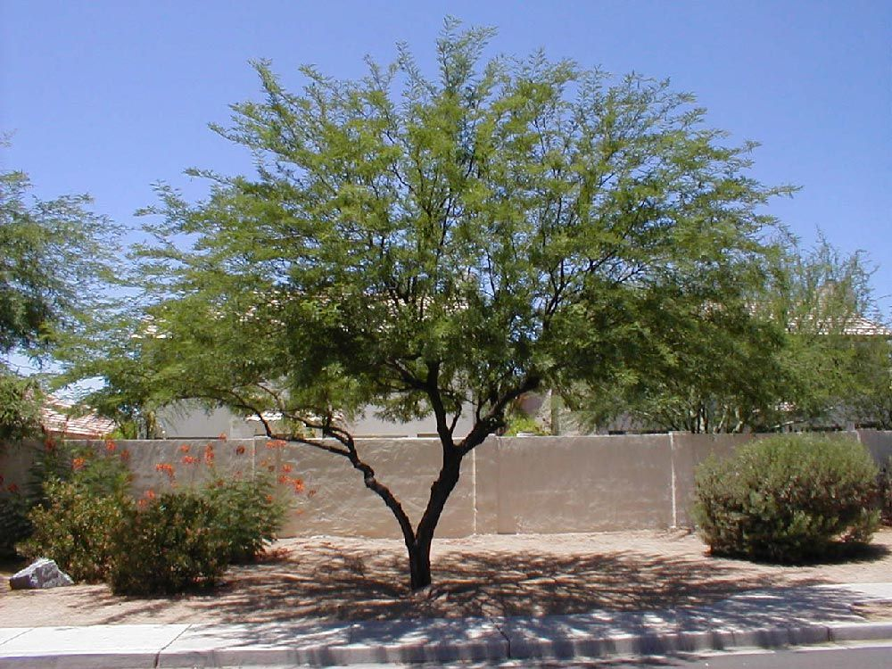 Growing Shade Chilean Thornless Mesquite Tree Drought Tolerant Landscape Mesquite Tree Landscape Trees