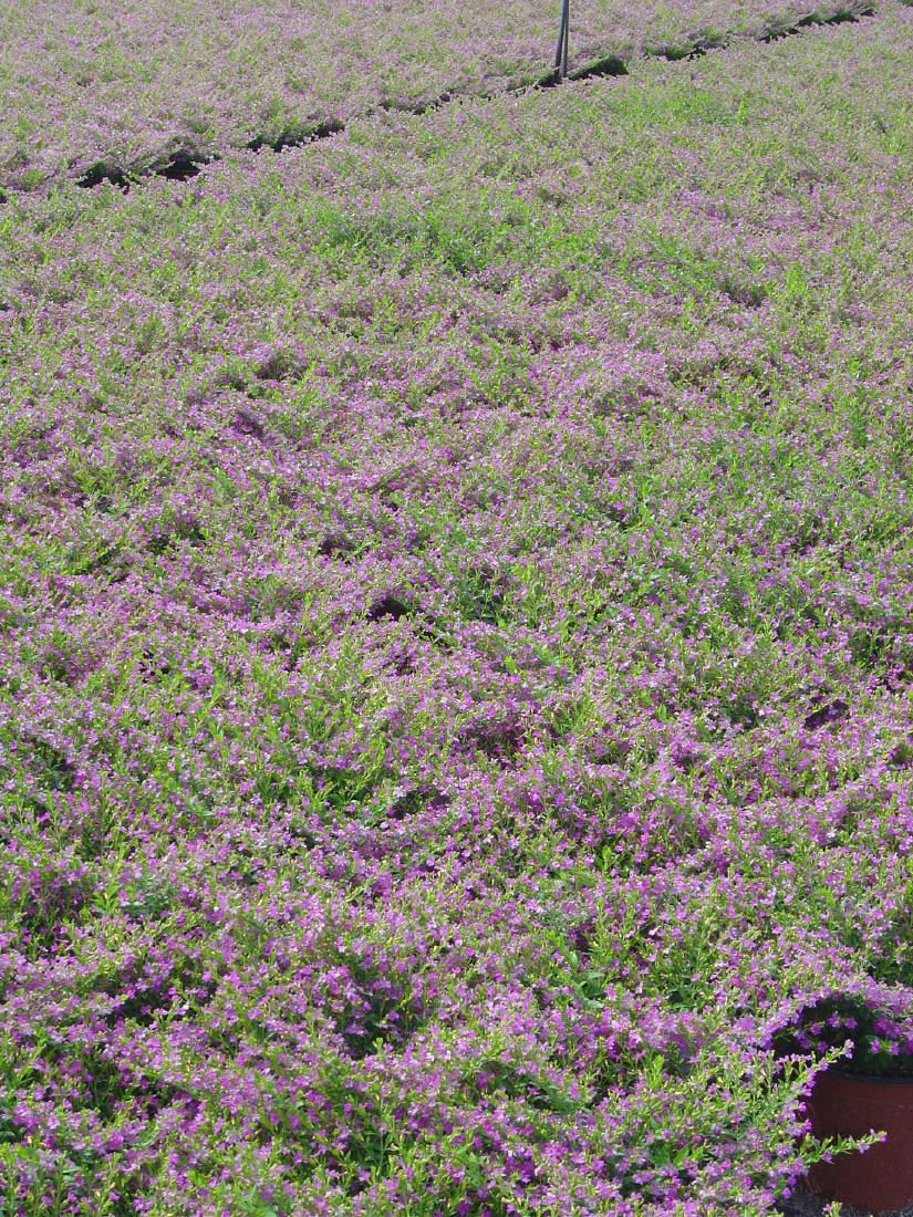 Cuphea Heather Quot False Or Mexican Heather Quot Part Shade