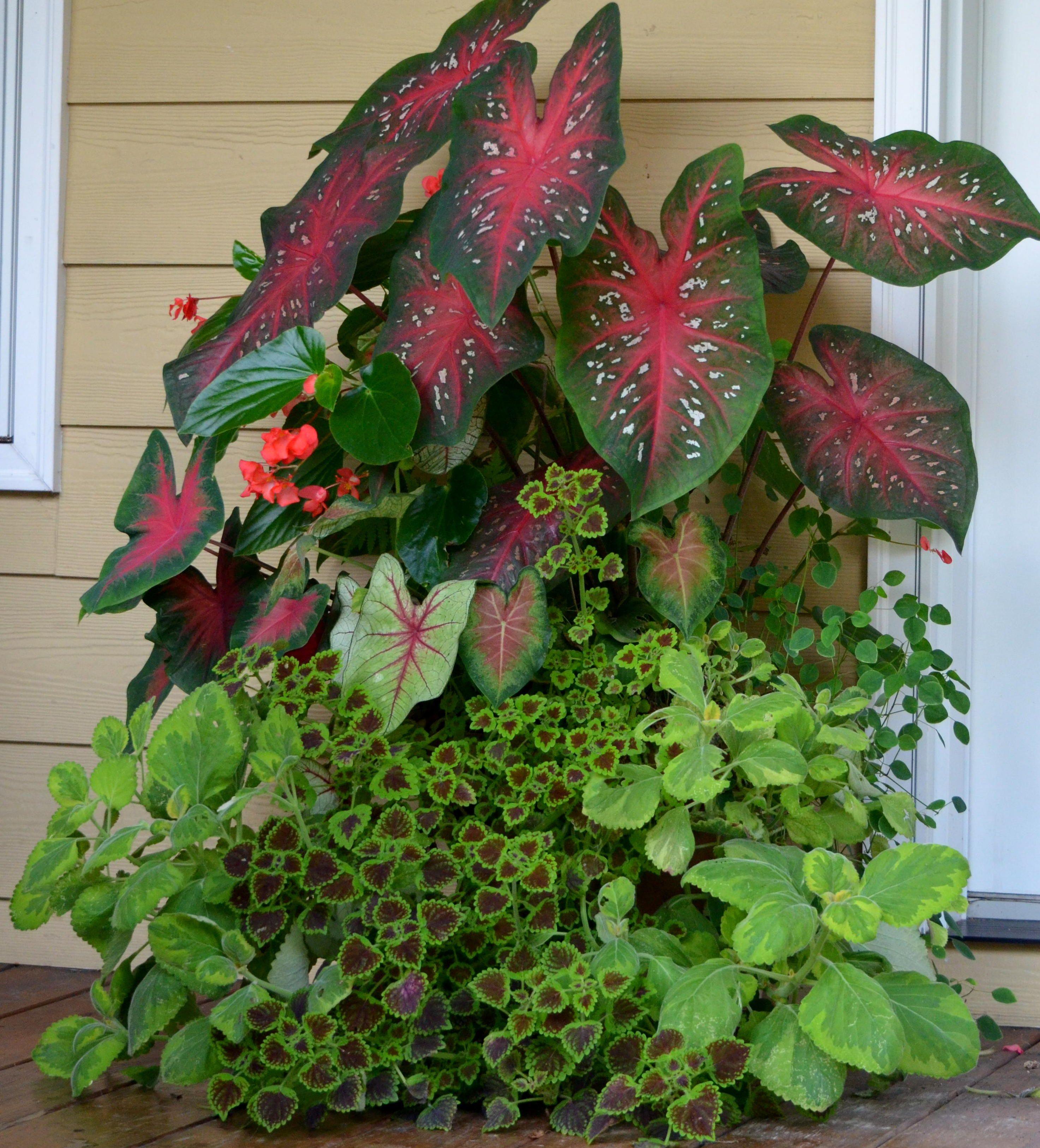 Caladiums, dragon wing begonias, Swedish ivy \