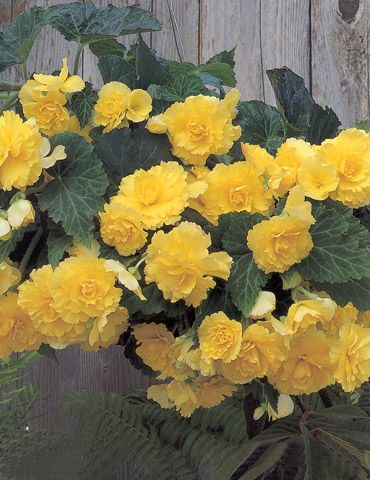 Yellow Hanging Basket Begonias Flora Pinterest Gardens And Flowers