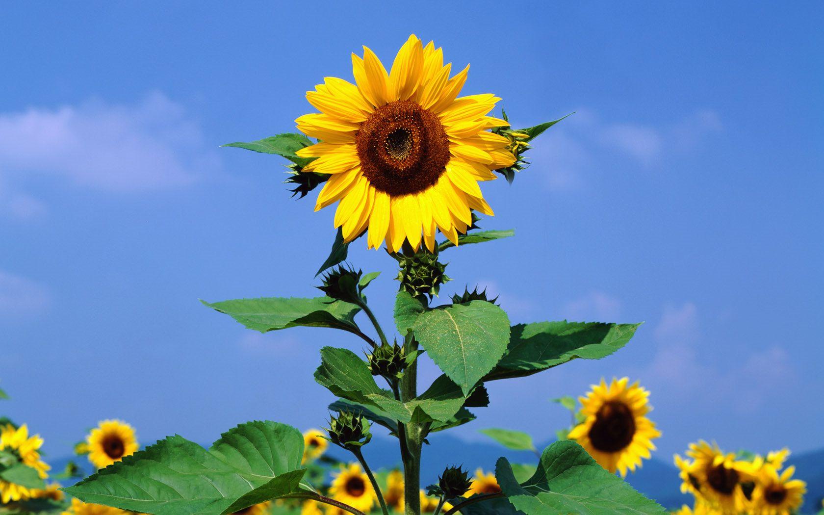 sunflower wallpaper 3831 Sunflowers background