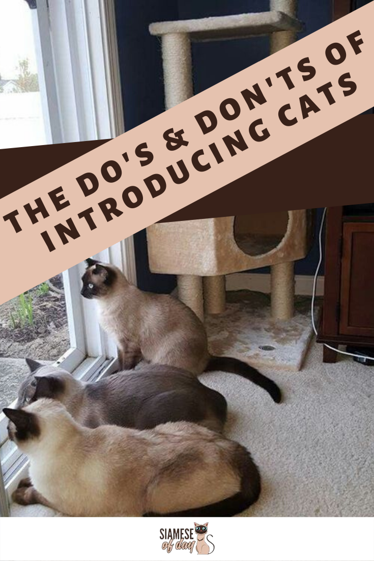 The Do S And Don Ts Of Introducing Cats Siamese Of Day Siamese Kittens Cats Kitten Care