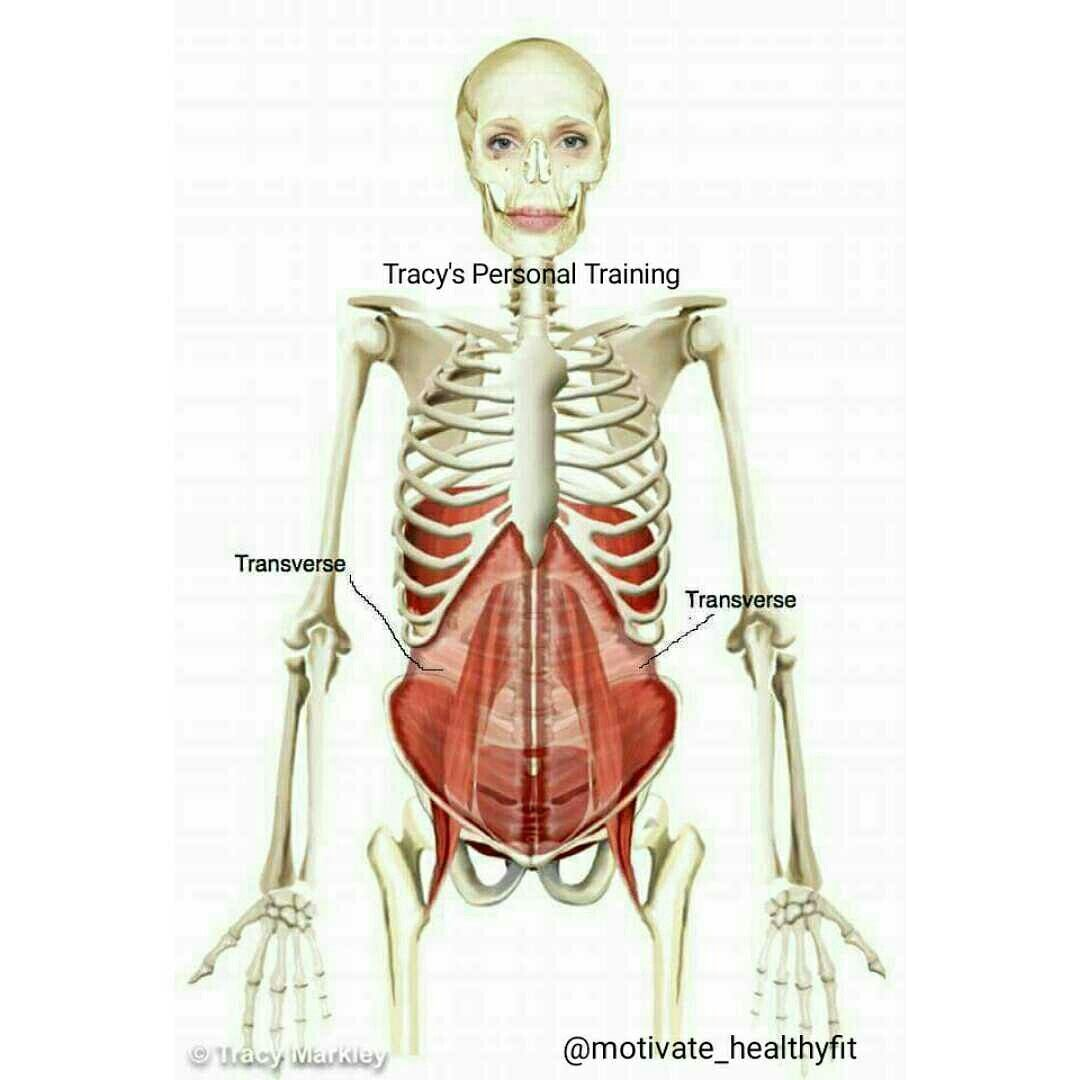 The Transverse Abdominal Muscle The Diaphragm The Pelvic Floor