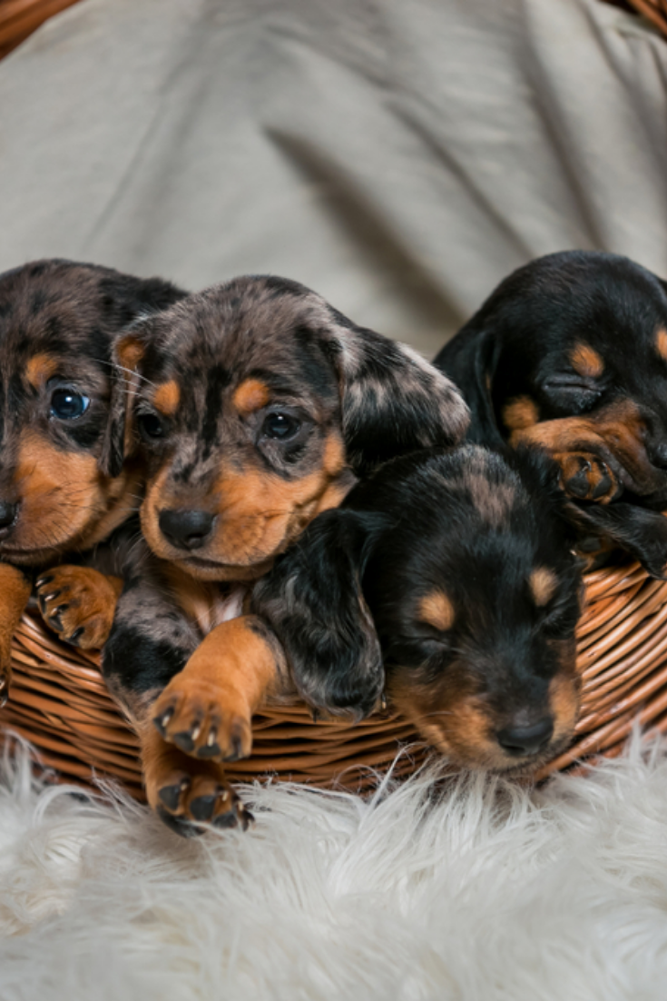 Puppies In The Basket Species Of Hunting Dogs Little Brown Puppies Are Dachshund Breeders In 2020 Dachshund Puppy Training Dachshund Puppies Dachshund Dog