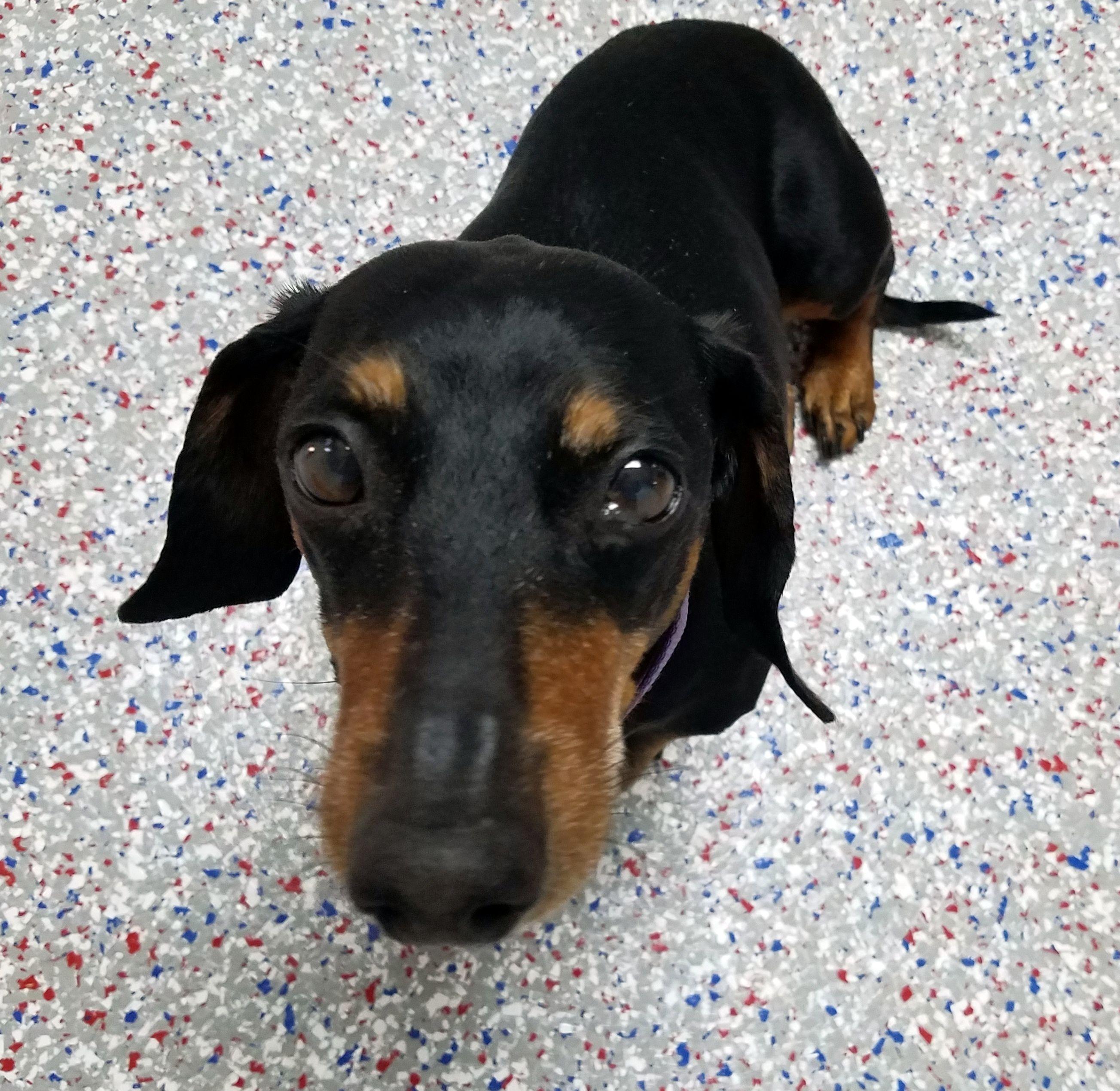 Dachshund dog for Adoption in Lewisburg, TN. ADN517667 on