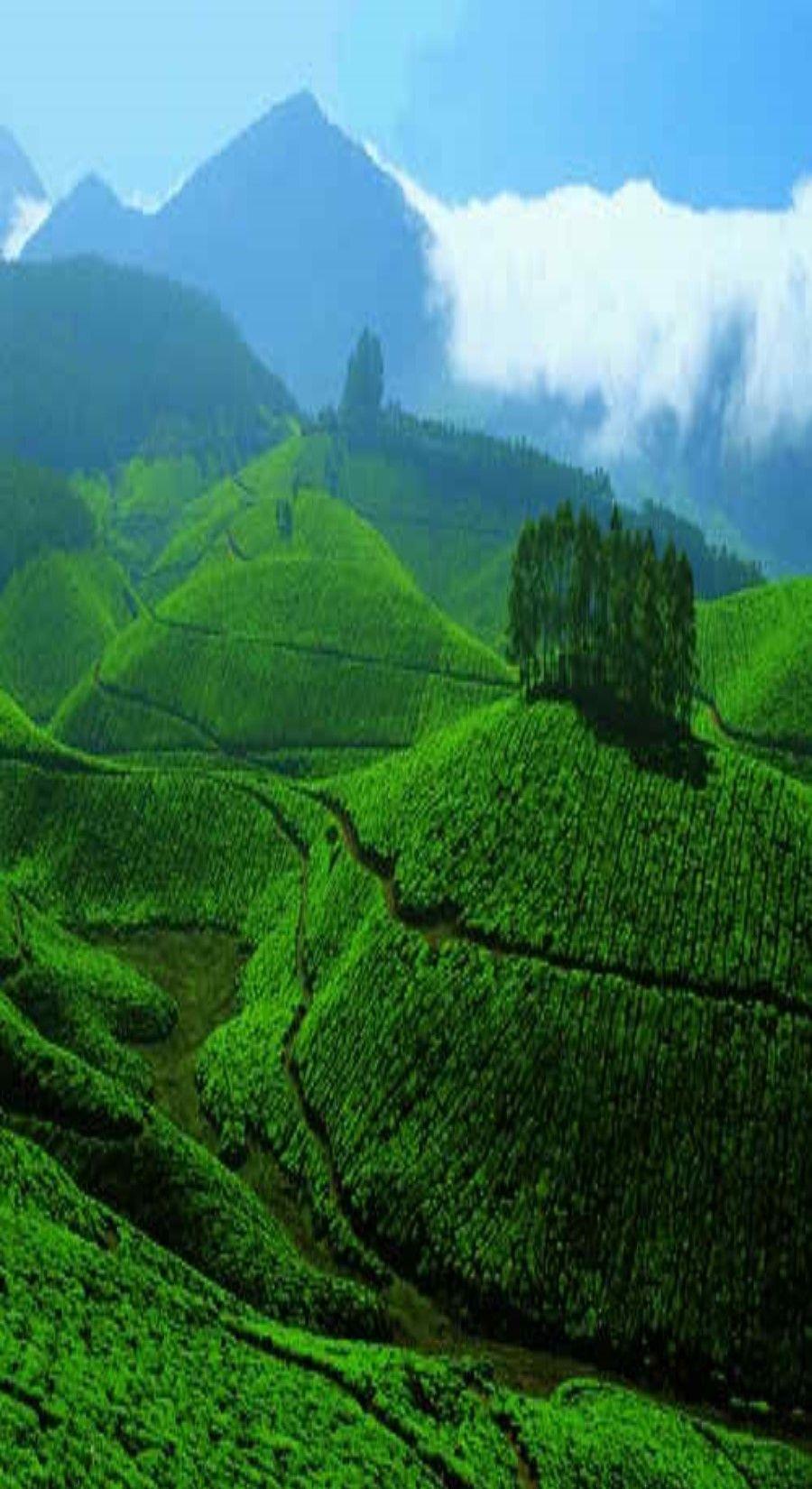 Tea garden, Sylhet; Bangladesh | ✈ Beautiful Places & Travel Plan ...