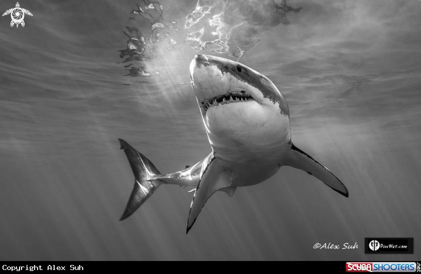 BW Great White Shark | I ❤ sharkeys | Pinterest | Tiburones ...