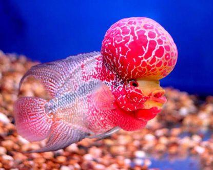Flowerhorn Fish Farming Techniques Cichlids Fish Beautiful Fish