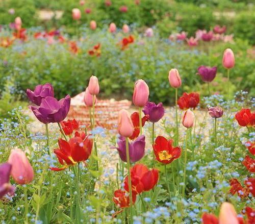 """Résultat de recherche d'images pour """"tulipe menton ..."""