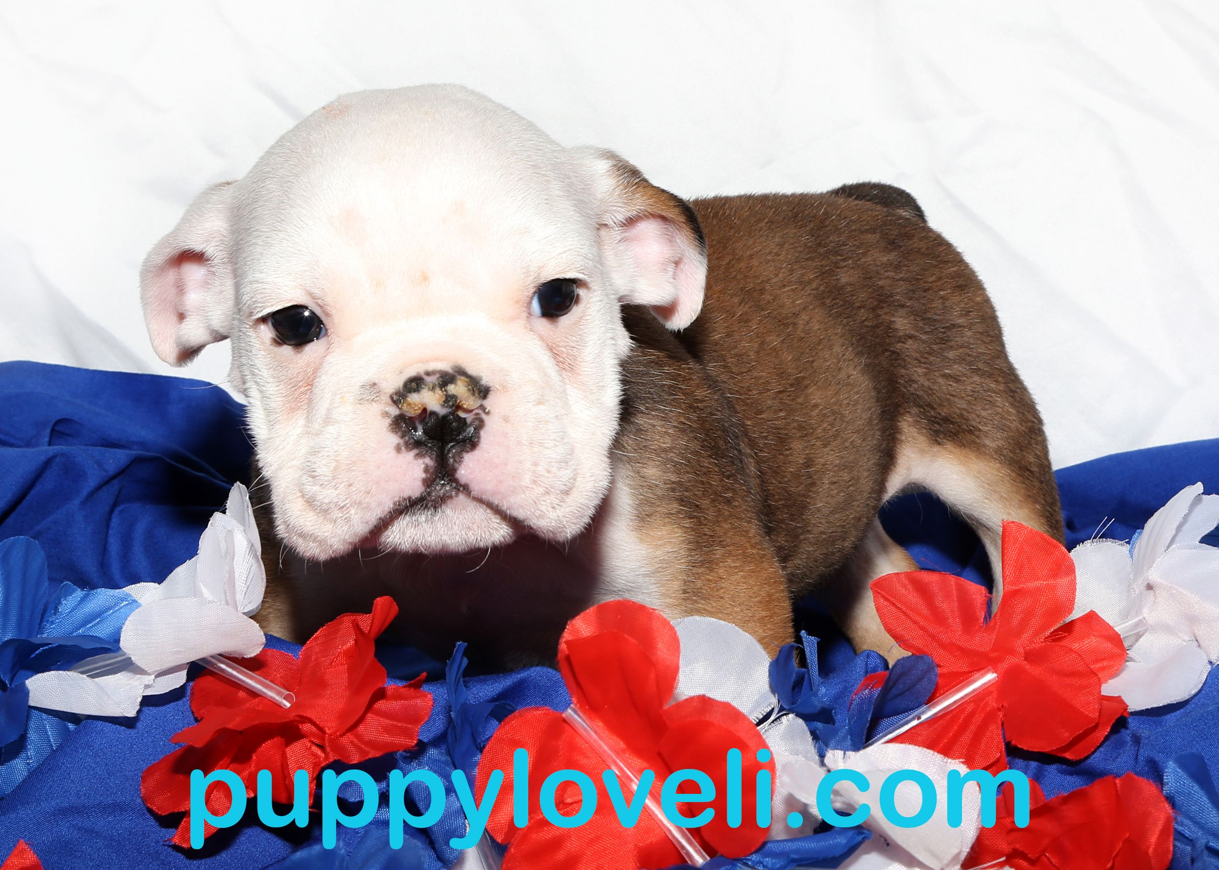 English Bulldog for sale on Long Island English bulldog