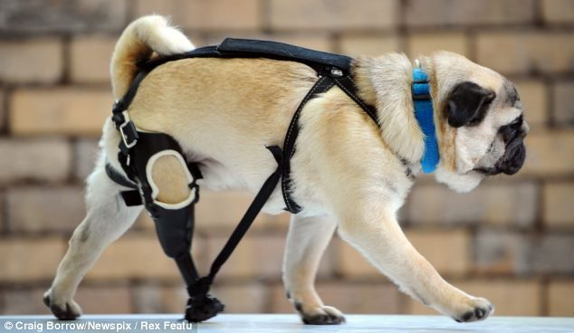 The Peg Legged Pug Dog Who S Learning To Walk Again After He Was