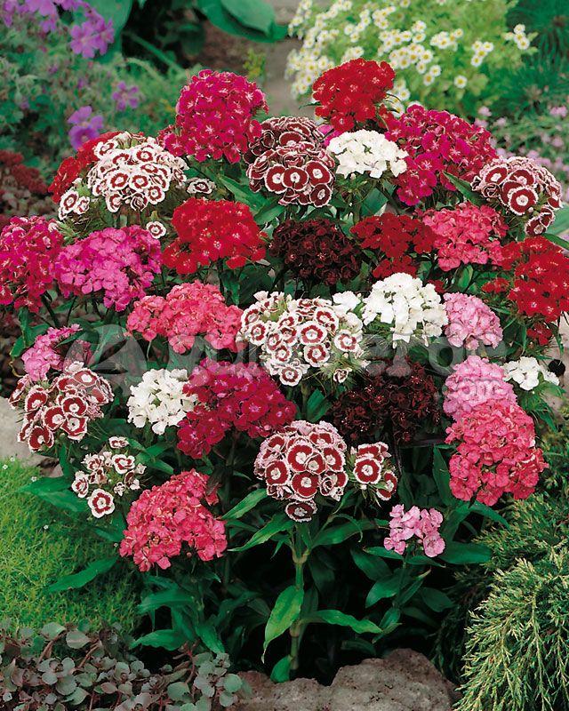 Sweet William Dianthus Barbatus Sweet William Flowers Flower Seeds Sweet William